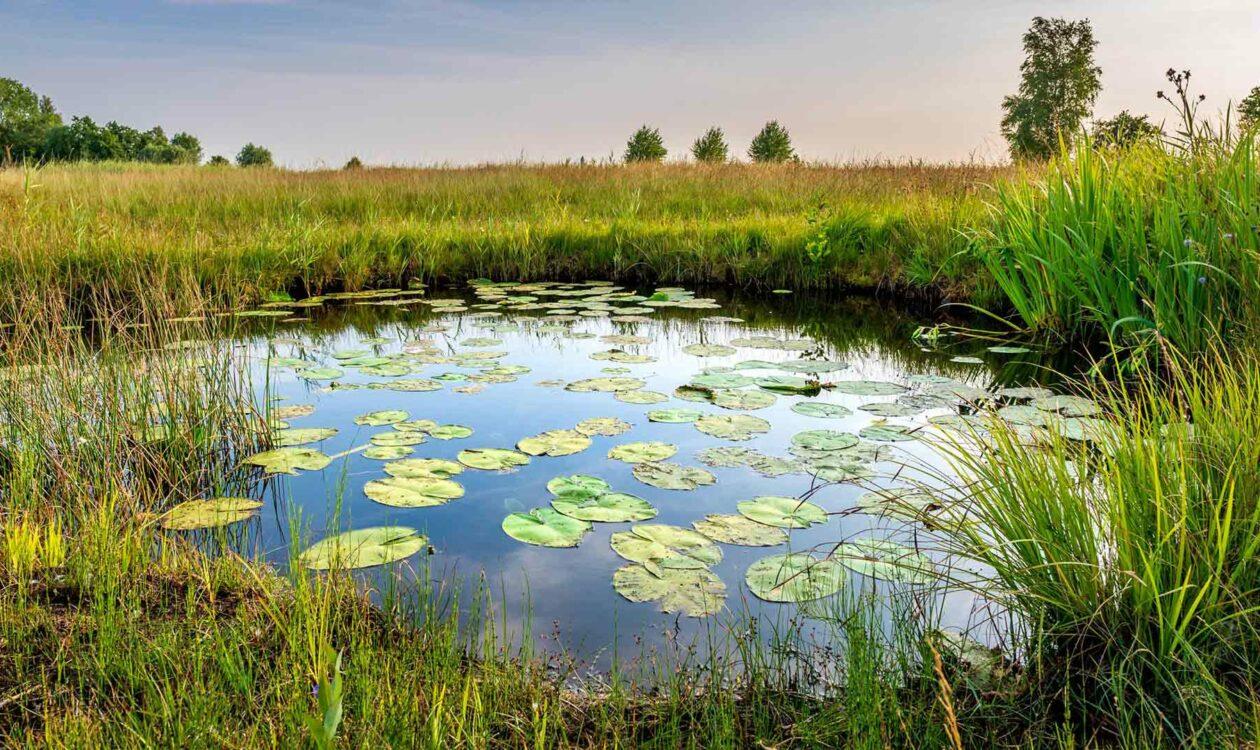 Vijver met waterlelies in weiland met veel gras en wat bomen