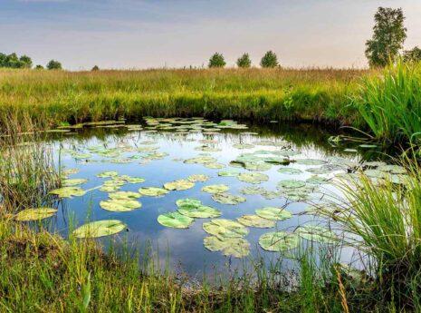 Vijver met waterlelies in grasveld met bomen op de achtergrond