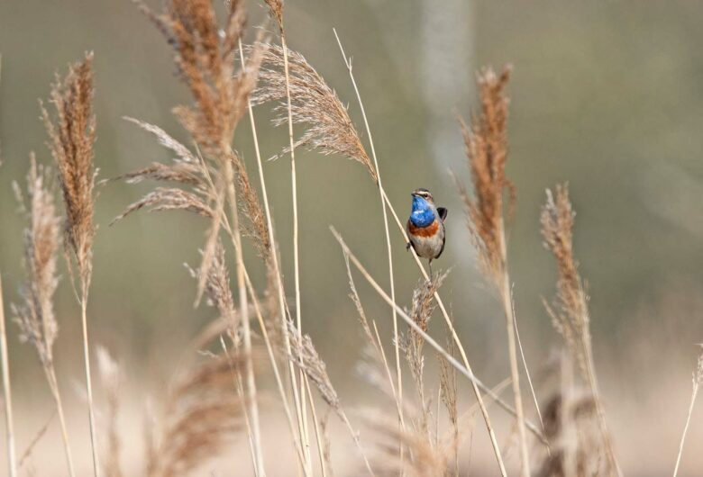 Blauwborst vogeltje op riet als voorbeeld van Biodiversiteit