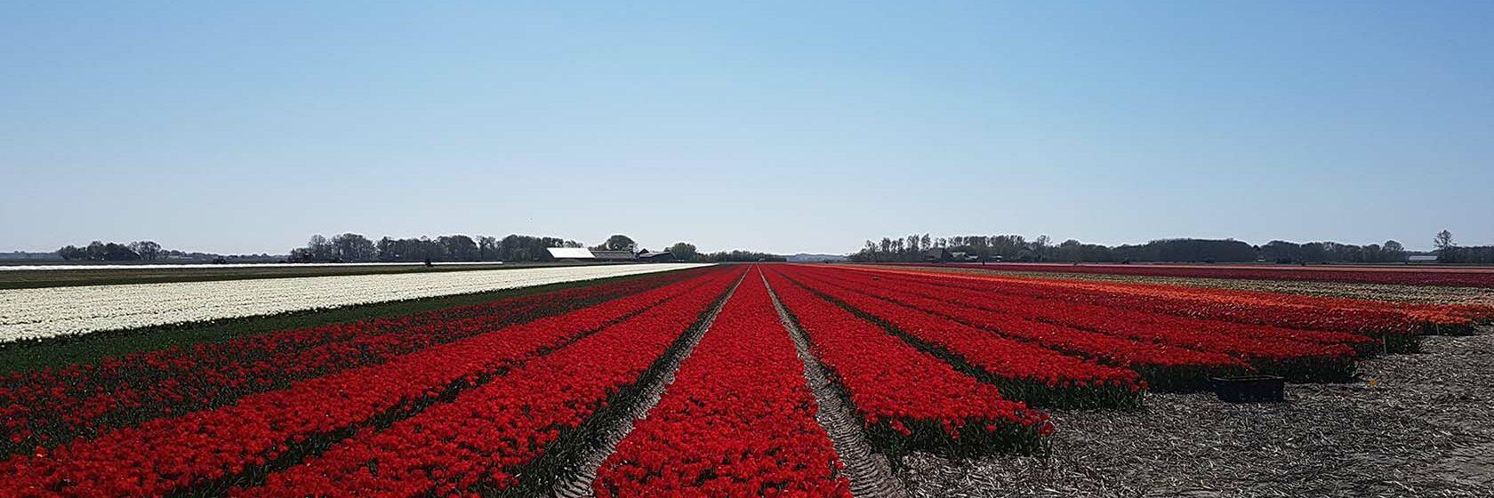 Bollenveld met rode bloemen