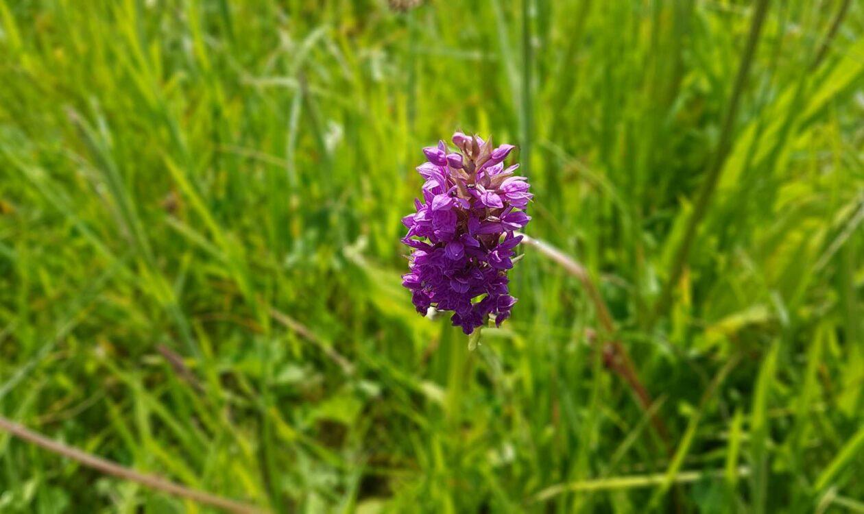 biodiversiteit met Moerasorchidee in het gras