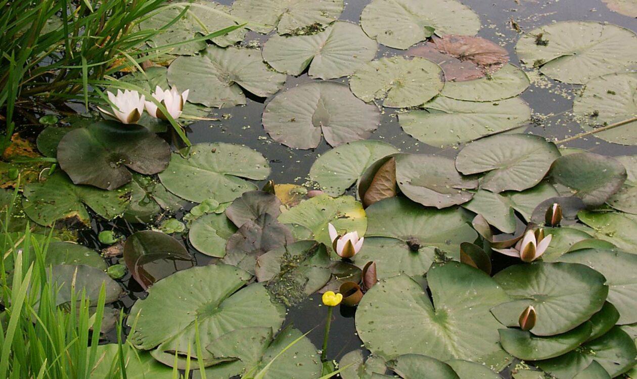 Waterlelies en waterplanten in vijver met gras er omheen